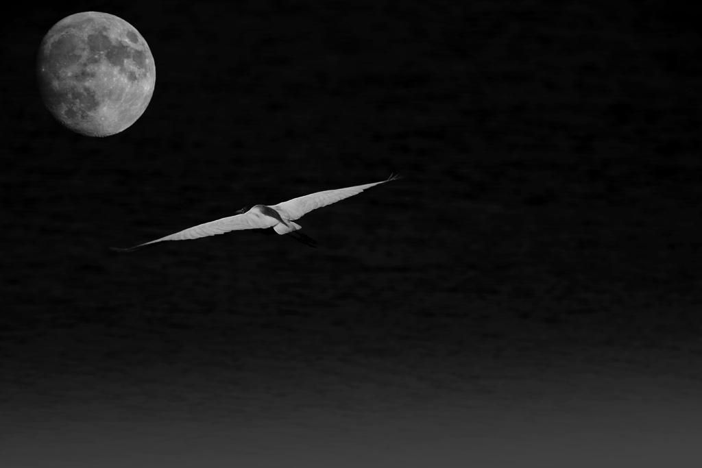 月鳥002.jpg