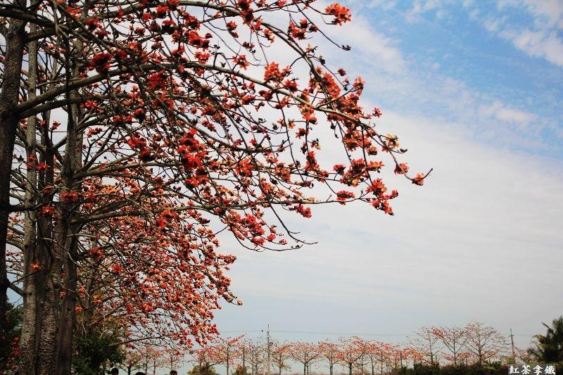 『台南白河』林初埤木棉花。紅紅的花開滿了木棉道