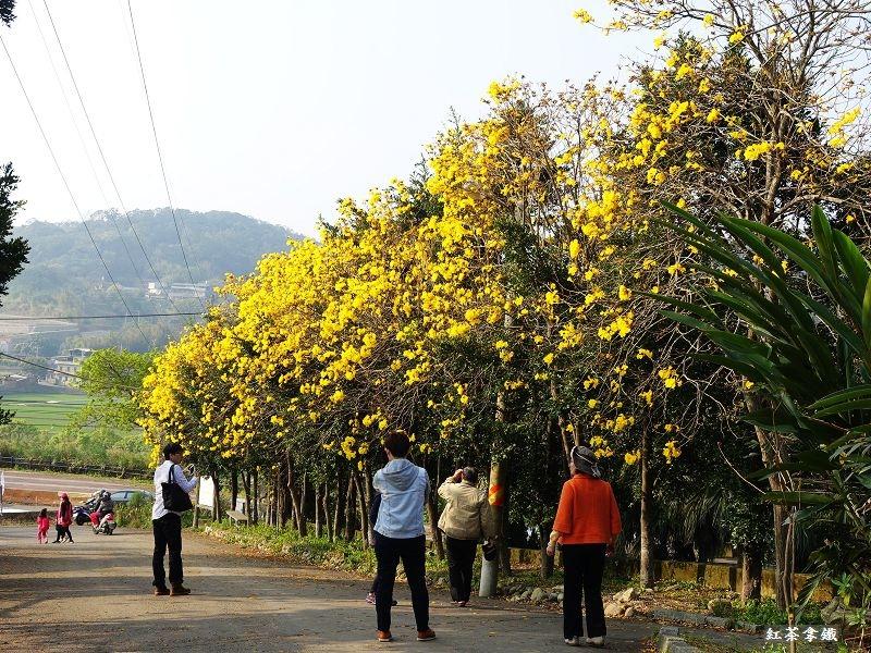 「新竹新埔」巨埔農場黃花風鈴木