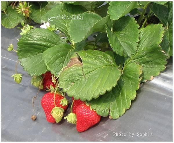 大湖草莓.jpg