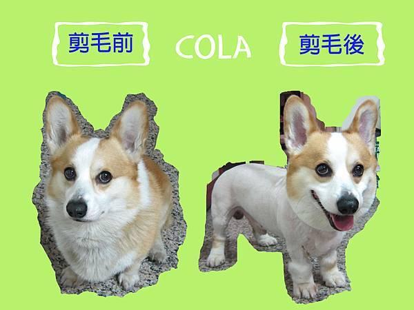 cola剪毛前後對照圖.jpg