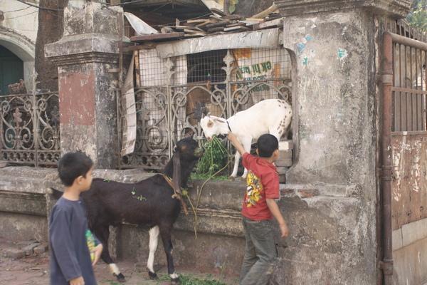 羊在街道上