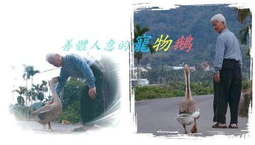 善體人意的寵物鵝.JPG