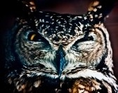 7947907-small-european-owl-nocturnal-bird-of-prey-with-hawk-like-beak-and-claws-and-large-head-with-front-fa.jpg
