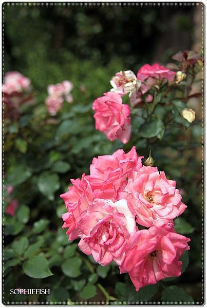 100501 莫內的花園