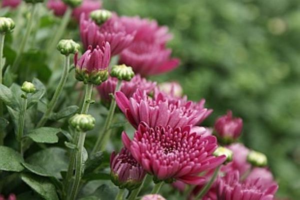 4556-chrysanthemum-multiflora-5.jpg