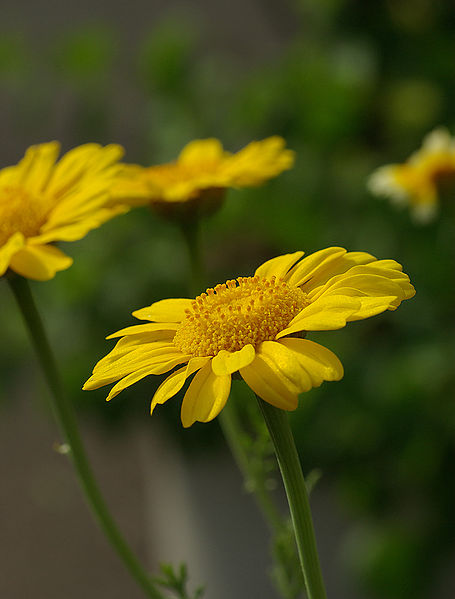 茼蒿花(春菊)Garland chrysanthemum.jpg