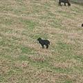 超小隻的羊.jpg