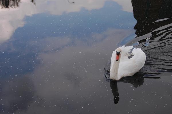 Quay上可愛的天鵝