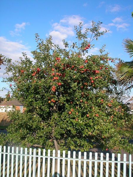 我的第一顆蘋果樹