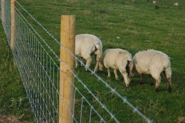 英國有滿坑滿谷的綿羊