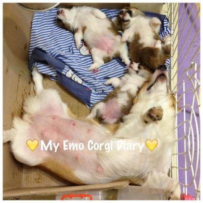 MY EMO柯基犬日記