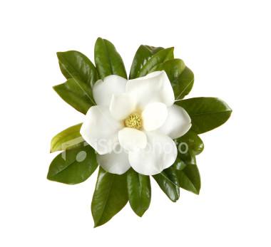 ist2_1692476-magnolia