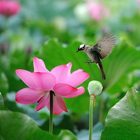 Beautiful lotus flower and cute birds (01)
