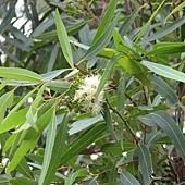 尤加利 Eucalyptus_curtisii