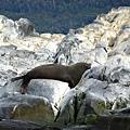 (14) 畢格爾海峽海獅