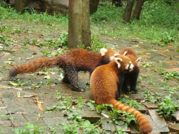 熊貓基地 (3) 小熊貓.JPG