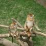 係金耶金絲猴