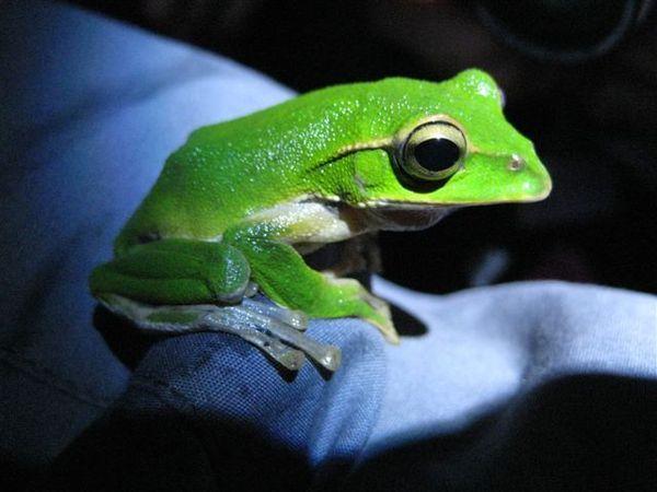 翡翠樹蛙1_稀泥.JPG