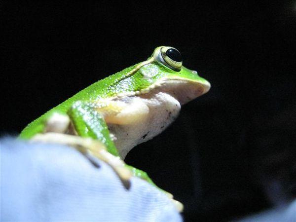 翡翠樹蛙3_稀泥.JPG