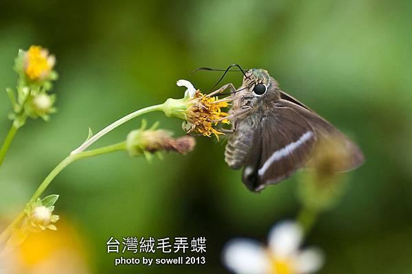 台灣絨毛弄蝶.jpg