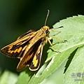 台灣黃斑弄蝶.jpg