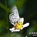 台灣黑星小灰蝶.jpg