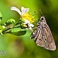 單帶弄蝶.jpg