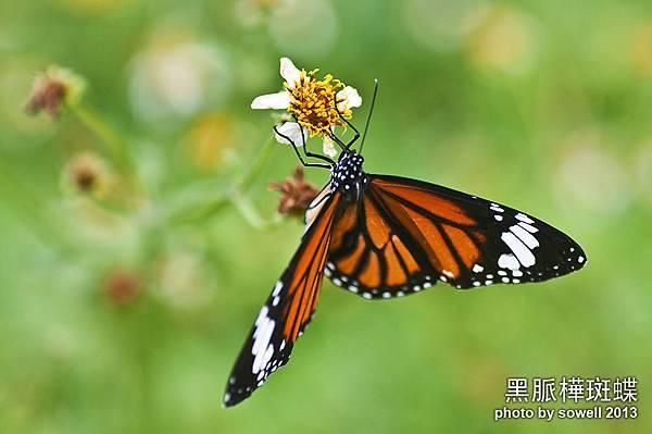 黑脈樺斑蝶.jpg