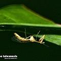 台灣螳蛉.jpg