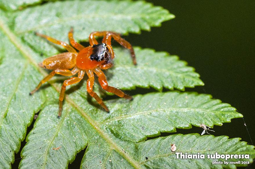 細齒方胸蛛