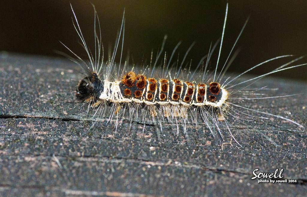 頂斑黃毒蛾幼蟲.JPG