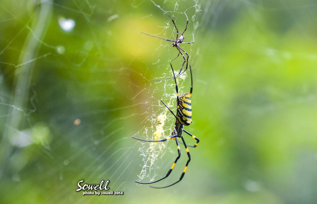 橫帶人面蜘蛛