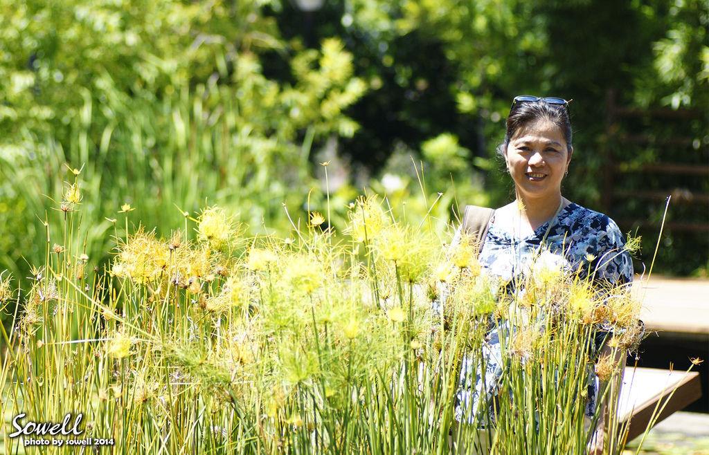 水生植物 - 水莎草