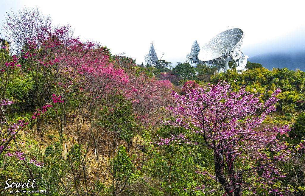 衛星電台櫻花