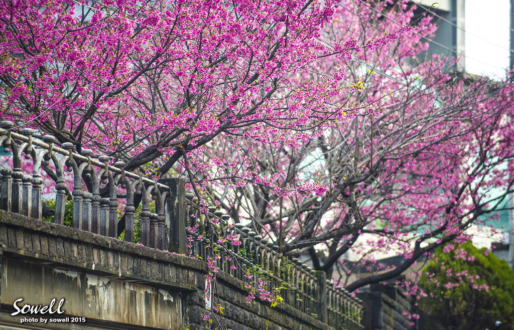 台北市櫻花季