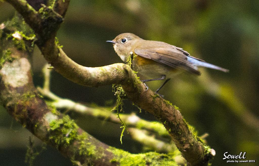 藍尾鴝母鳥