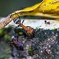 大頭家蟻和舉尾蟻.JPG