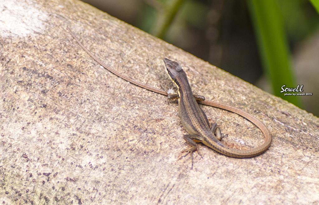 印度蜓蜥.JPG