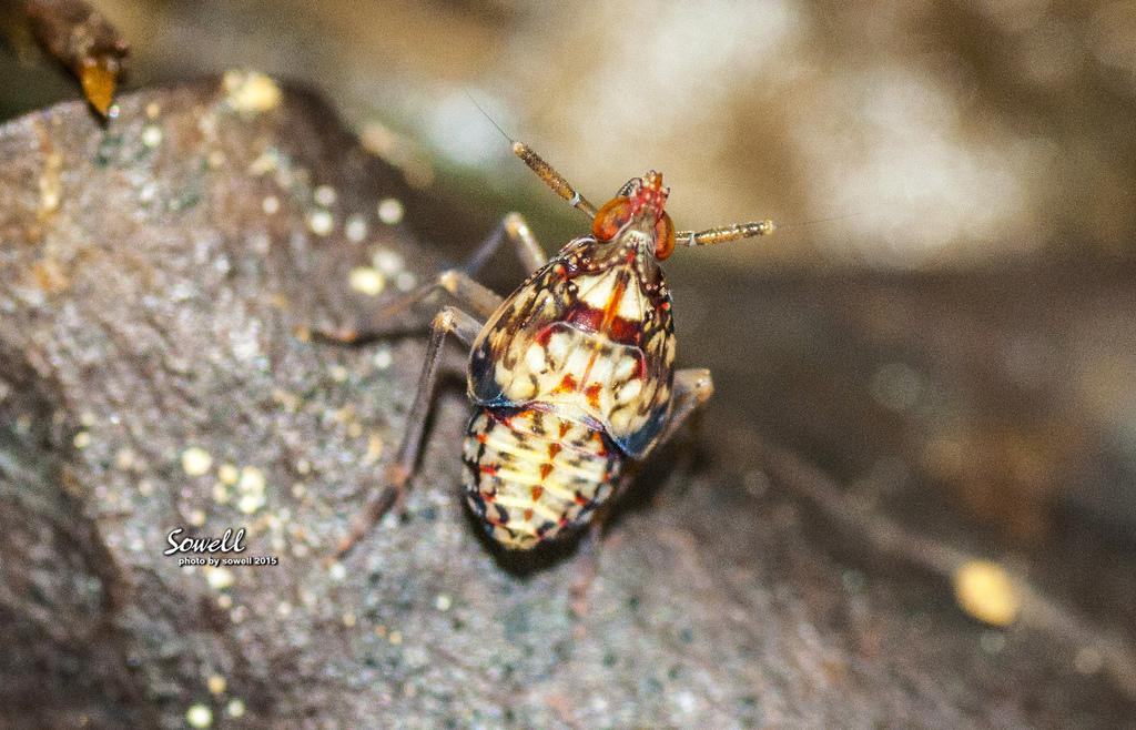 紅翅蠟蟬的若蟲.JPG