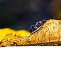 臭巨山蟻-4.jpg