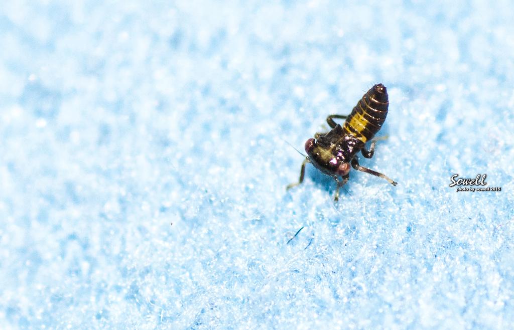 葉蟬的若蟲.JPG