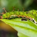 單帶蛺蝶的幼蟲.JPG