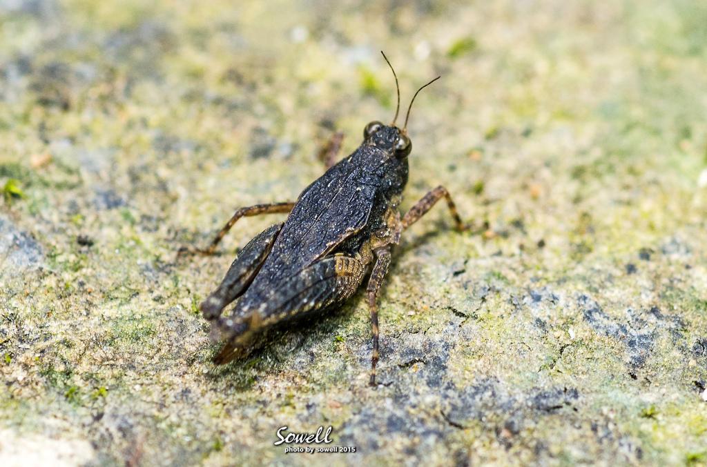菱蟋.JPG