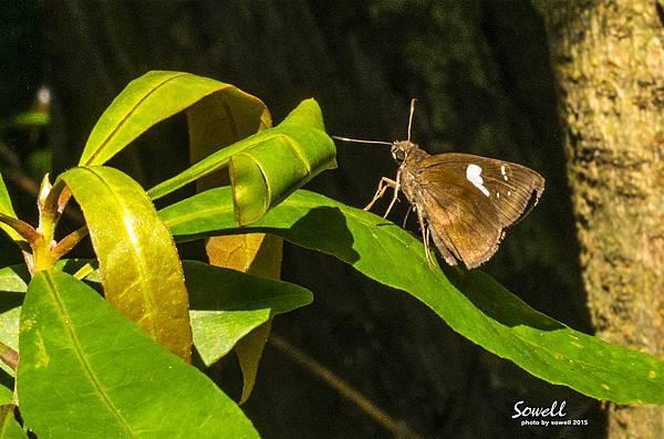 黑弄蝶.JPG
