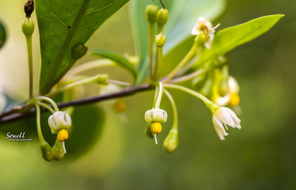 瑪瑙珠的花
