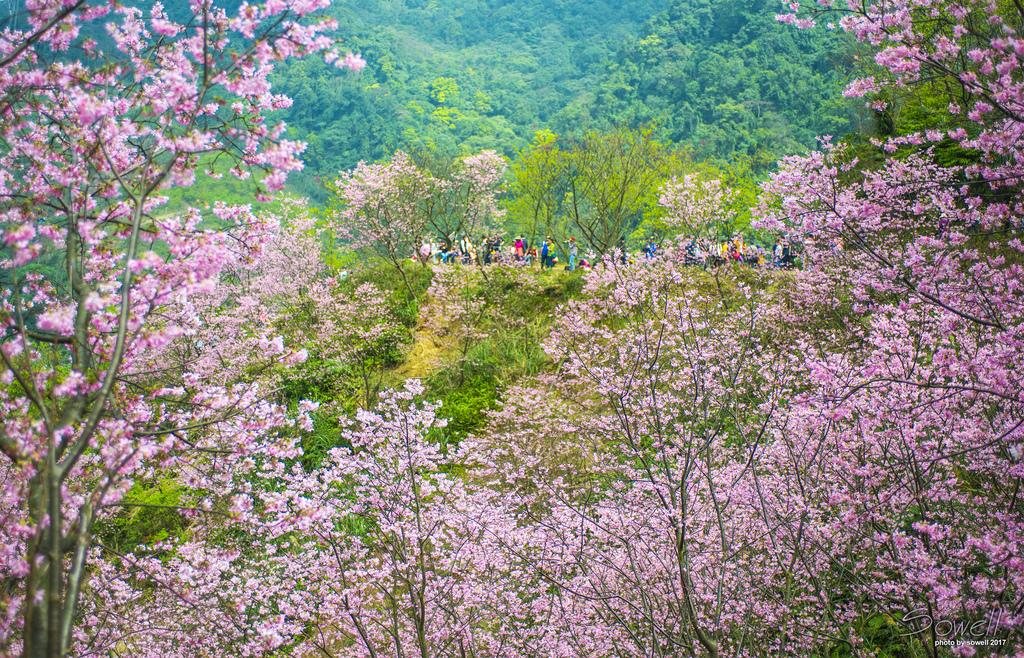 三峽熊空櫻花林-1.JPG