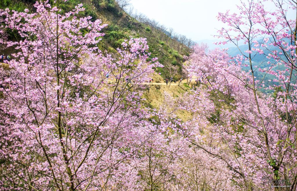 三峽熊空櫻花林-2.JPG