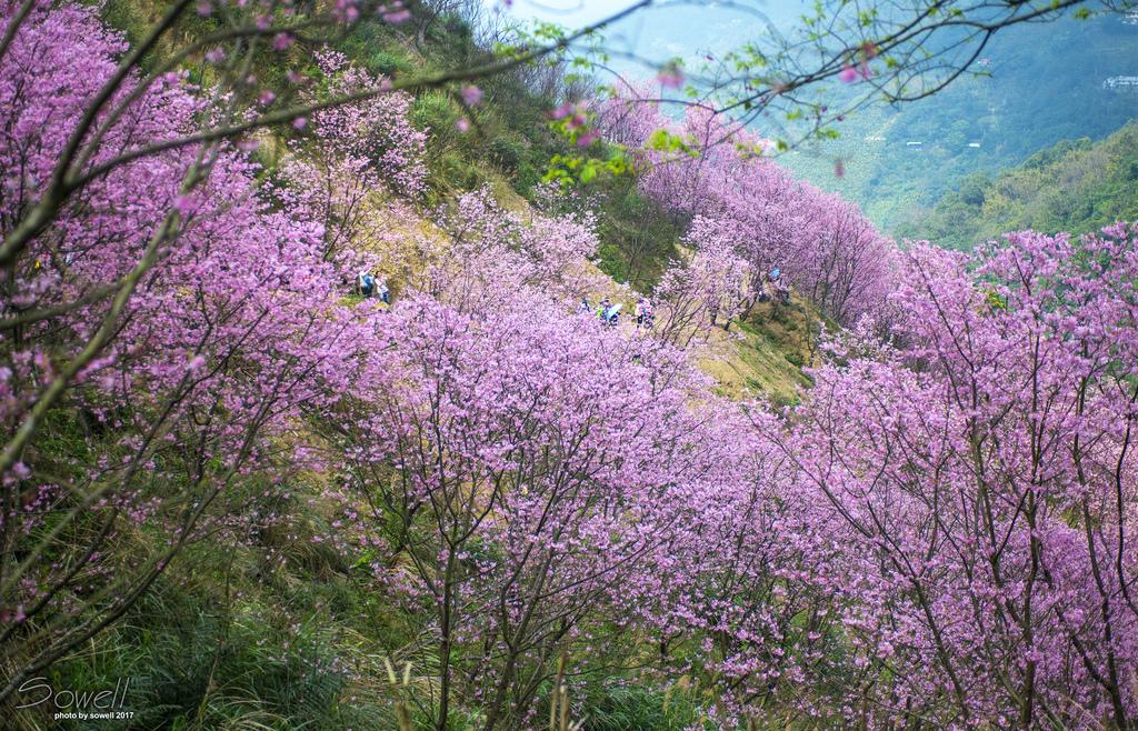三峽熊空櫻花林3