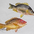 海雞母與白星笛鯛魚拓s.jpg